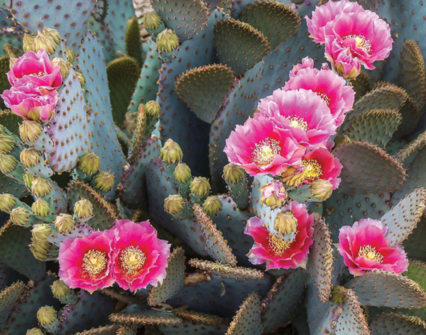 Marilyn Ortega, Blooming Pink Prickly Pear