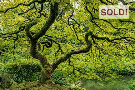 Scott McCormick: Japanese Maple - SOLD