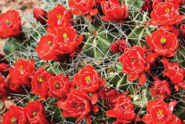 Marilyn Ortega, Mohave Mound Cactus
