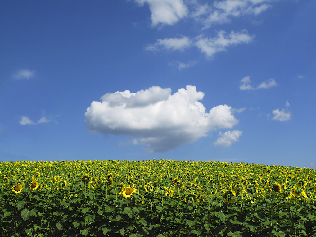 David Hoptman: Cloud with Sunflowers