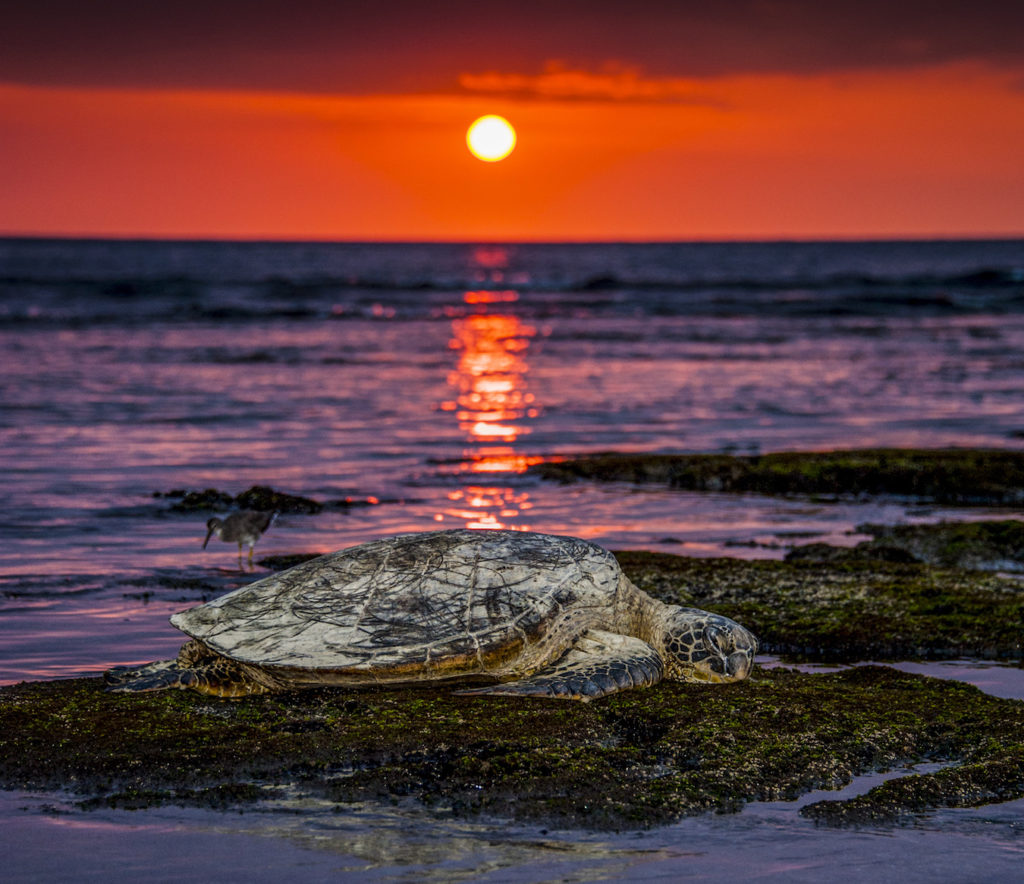 Stan Ford: Honu Sunset