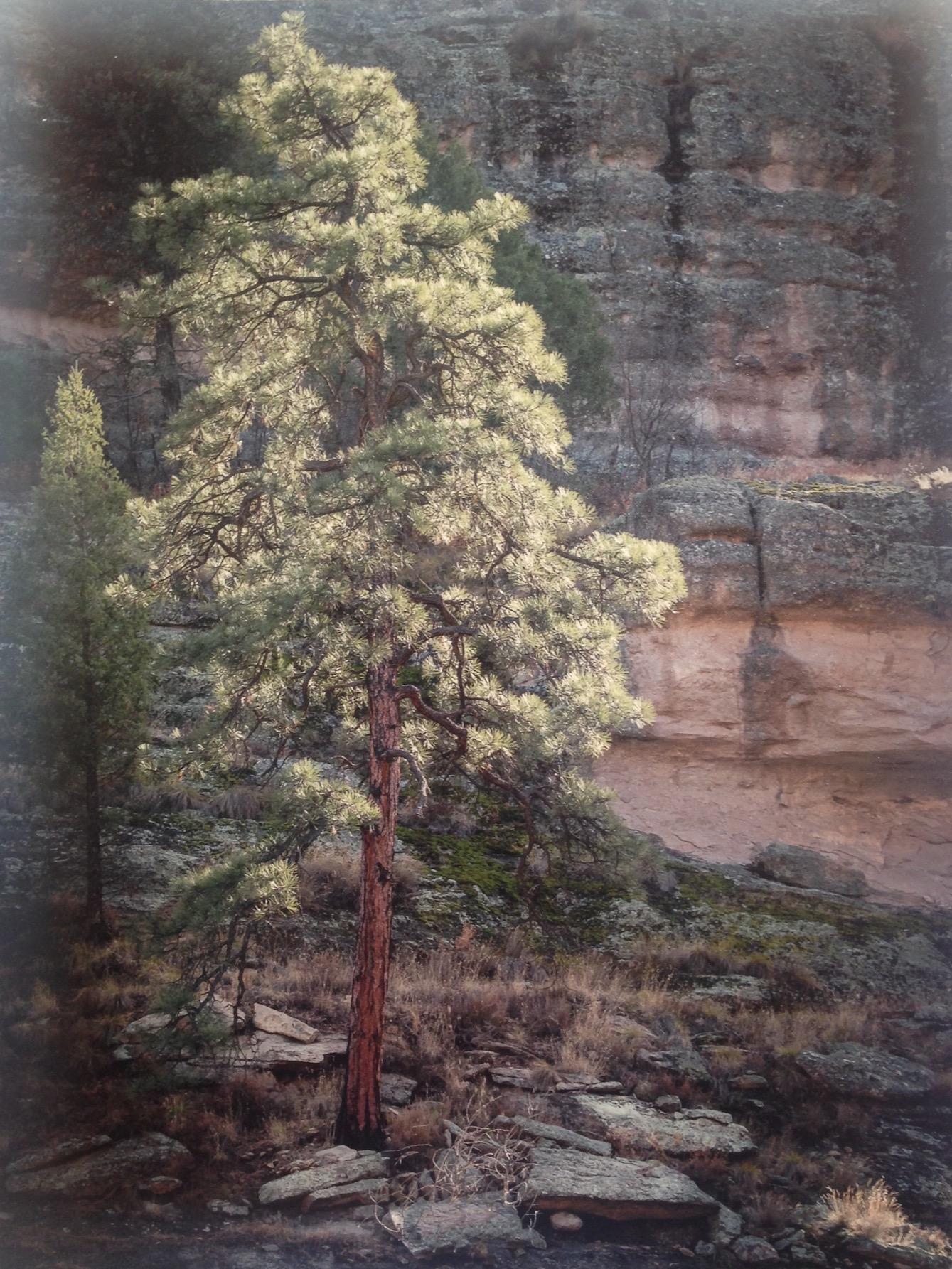 Hans Gebhardt: Lonely Pine