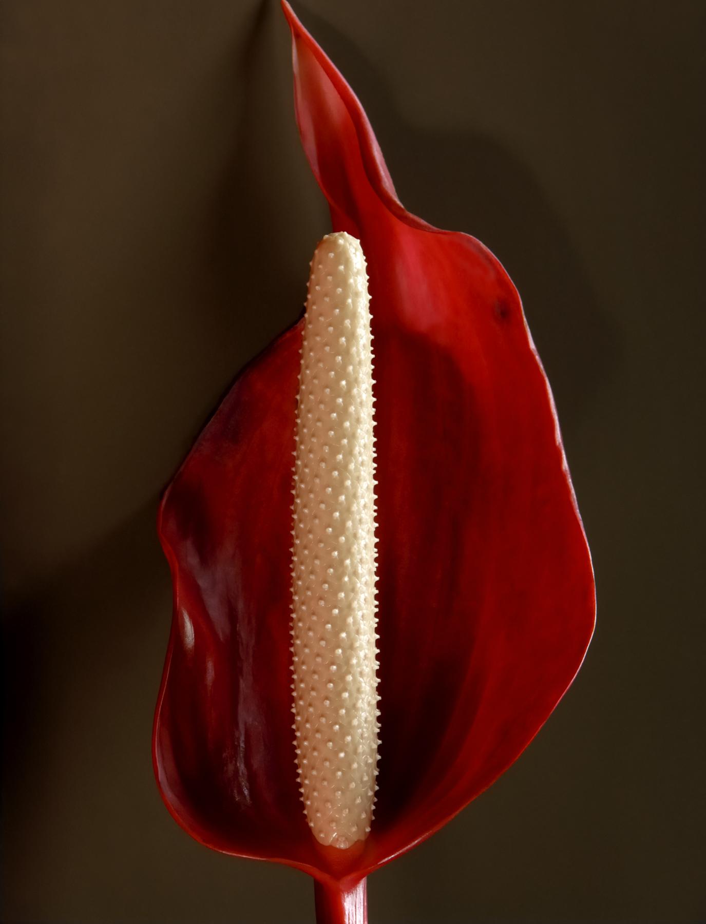 Fernando Delgado: Anthurium No.2