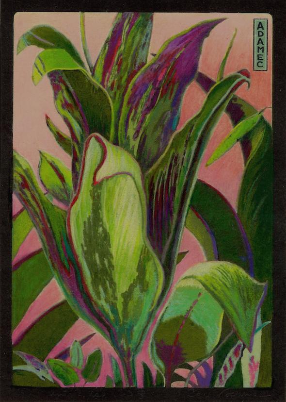 Carol L. Adamec: Ti Plant Blush #2