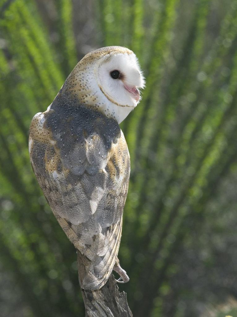 Jeremy Stein: Barn Owl