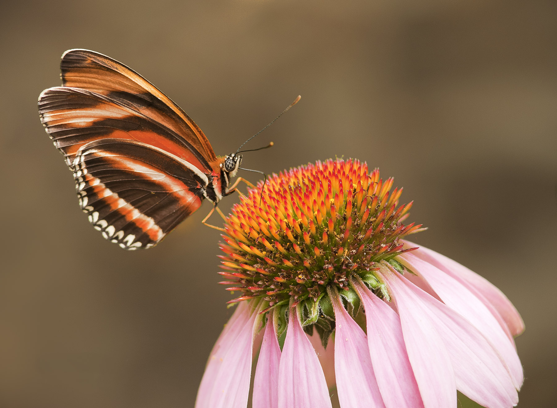 Jeremy Stein: Butterfly on Coneflower