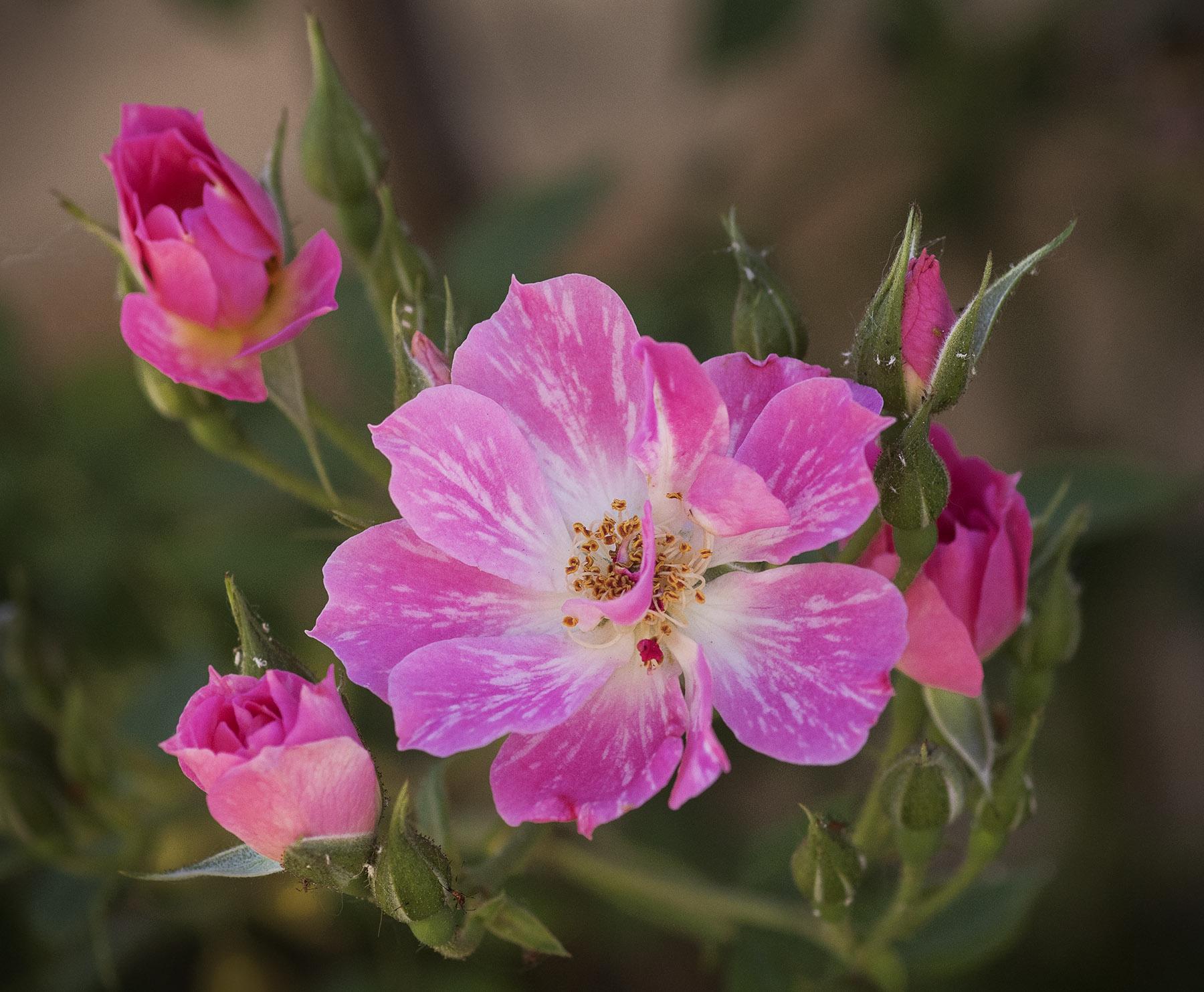 Jeremy Stein: Candy Cane Mini Rose