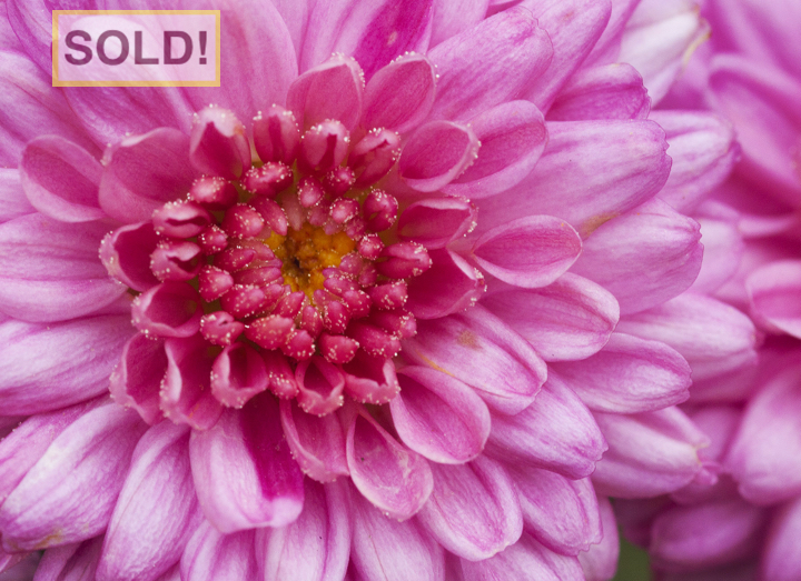 Jeremy Stein: Chrysanthemum - SOLD!