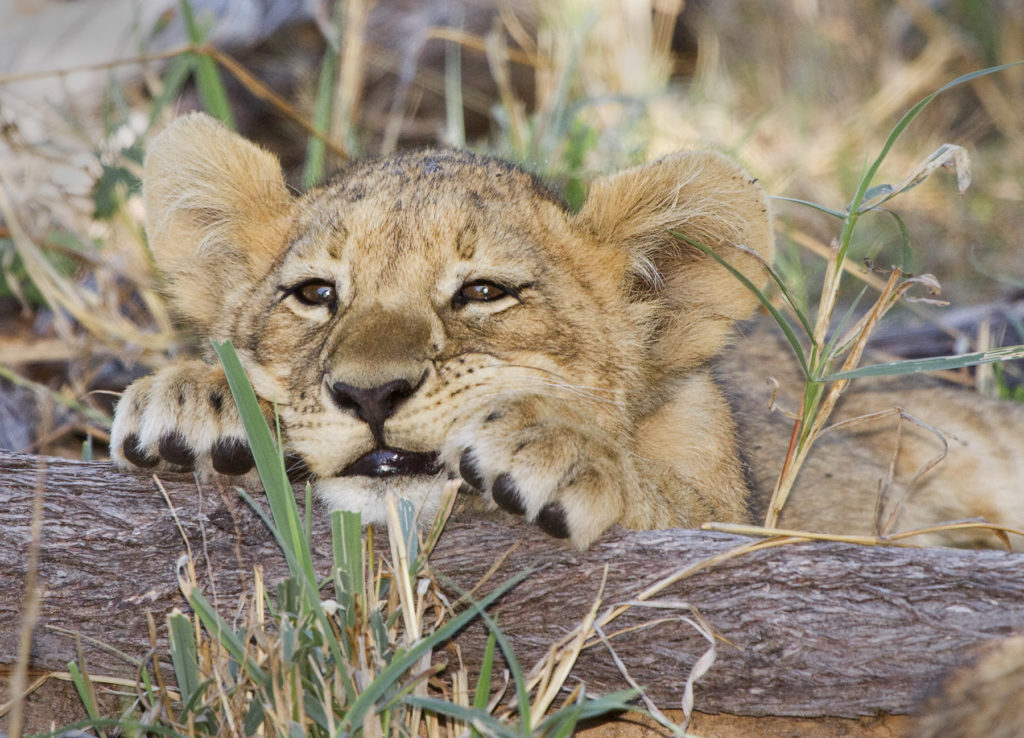 Jeremy Stein: Lion Cub Chin on Log