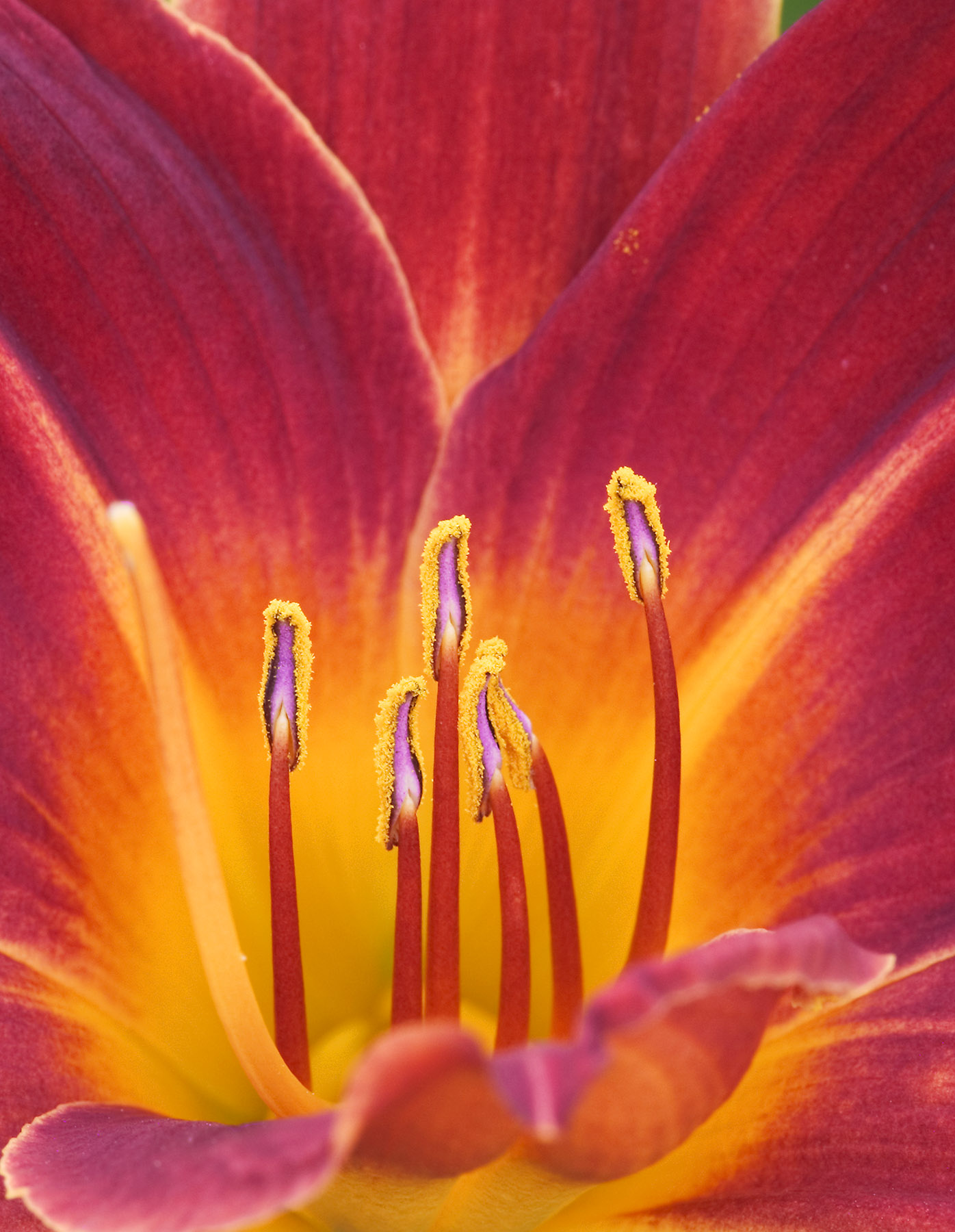 Jeremy Stein: Red Day Lily