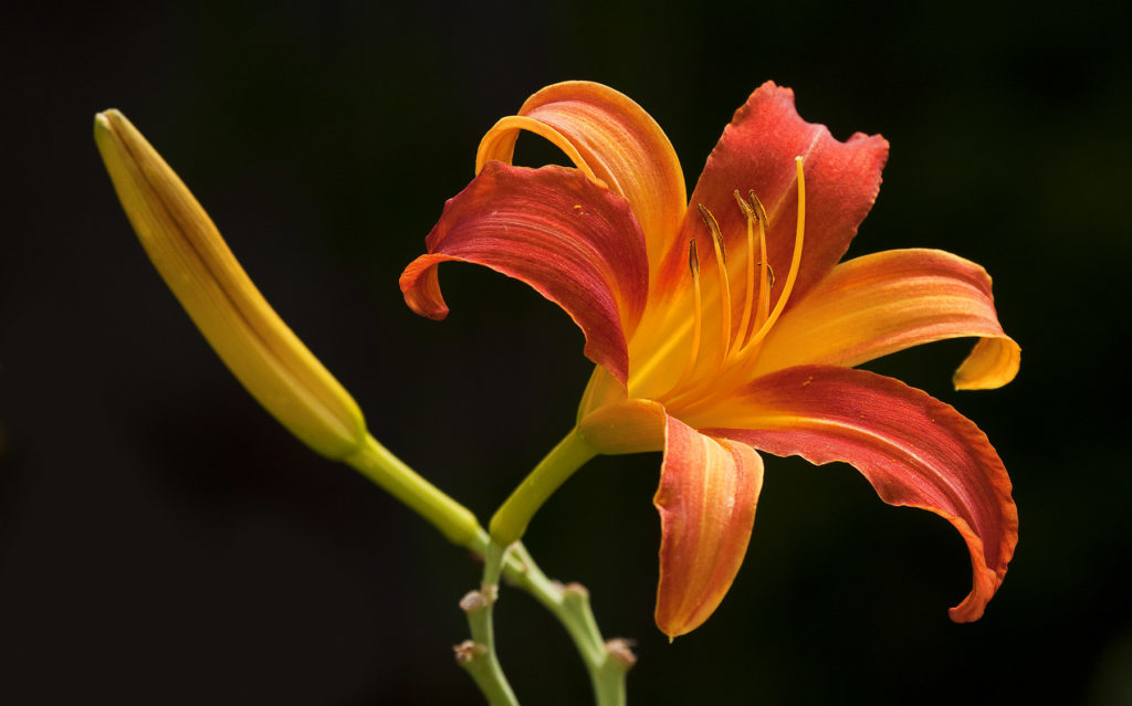 Jeremy Stein: Red & Yelllow Day Lilies