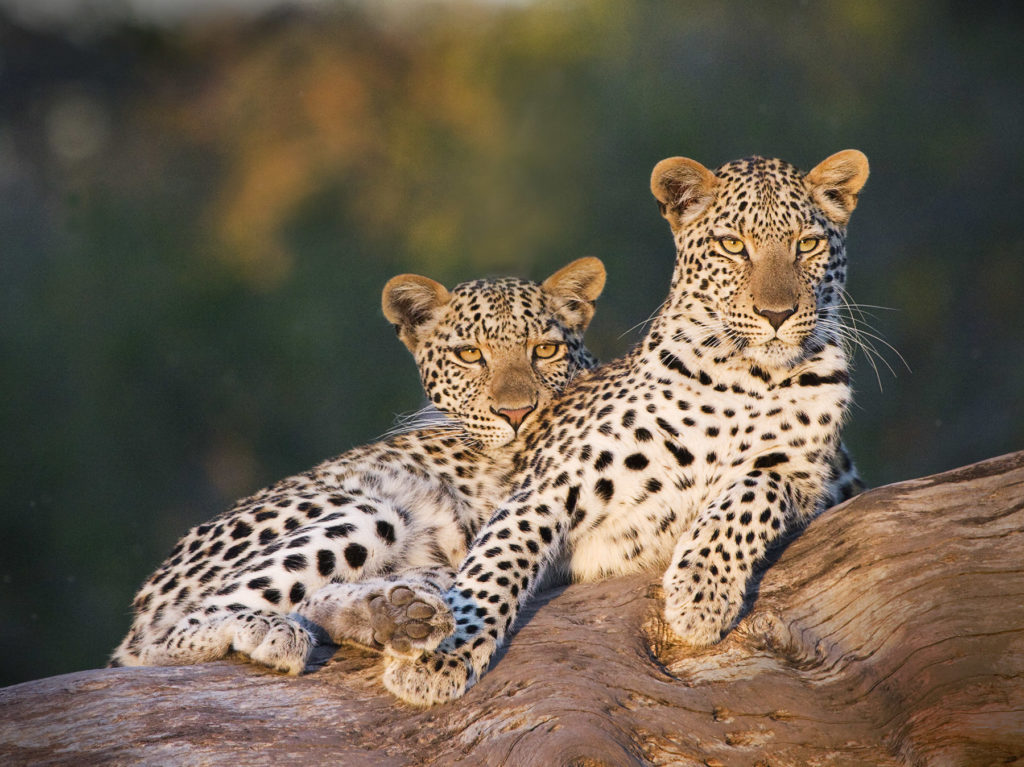 Jeremy Stein: Two Leopards