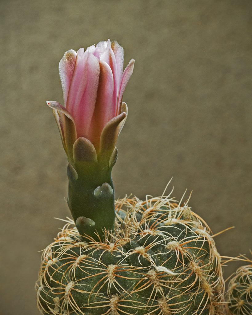 Jeremy Stein: White Cactus Flower