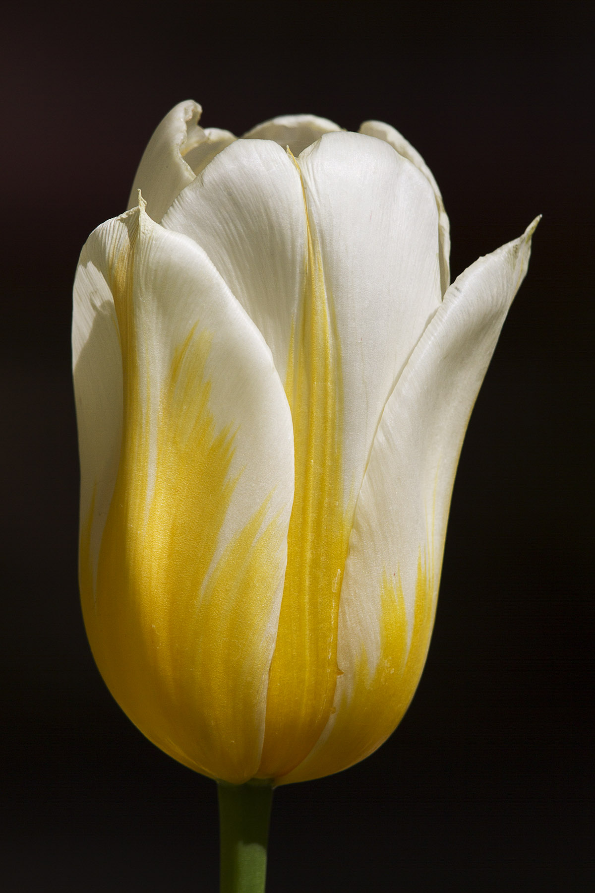 Jeremy Stein: Yellow & White Tulip