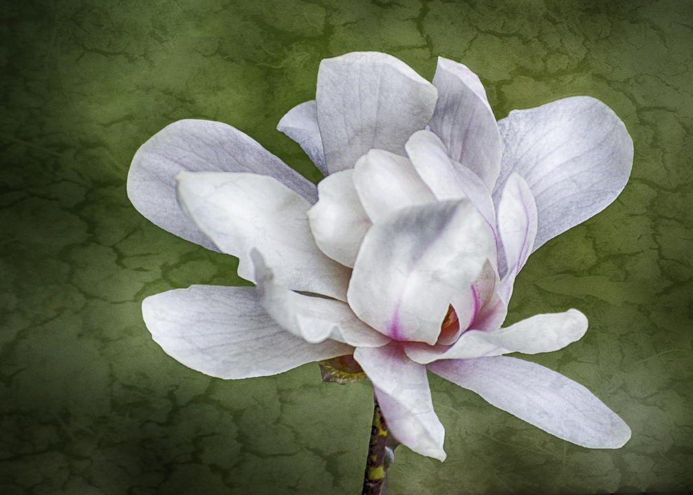 Sandra Lapham: Magnolia Blossom