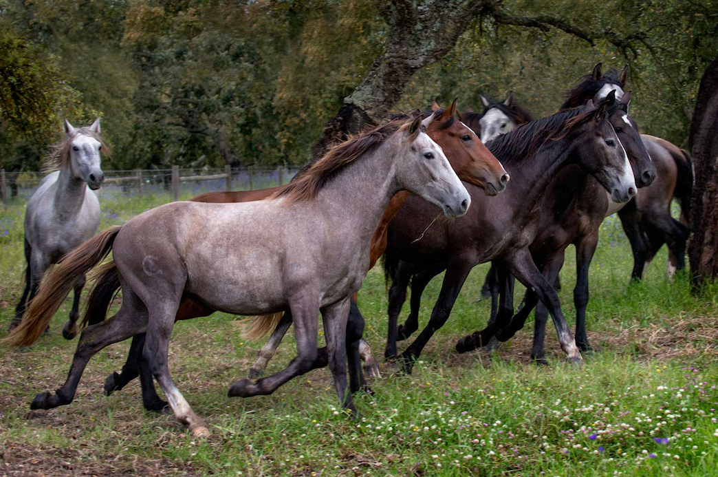 Cheryl Cathcart: Bachelors at Play - Lusitano