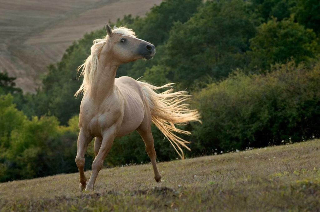 Cheryl Cathcart: Leo's Golden Biscuit - American Quarter Horse