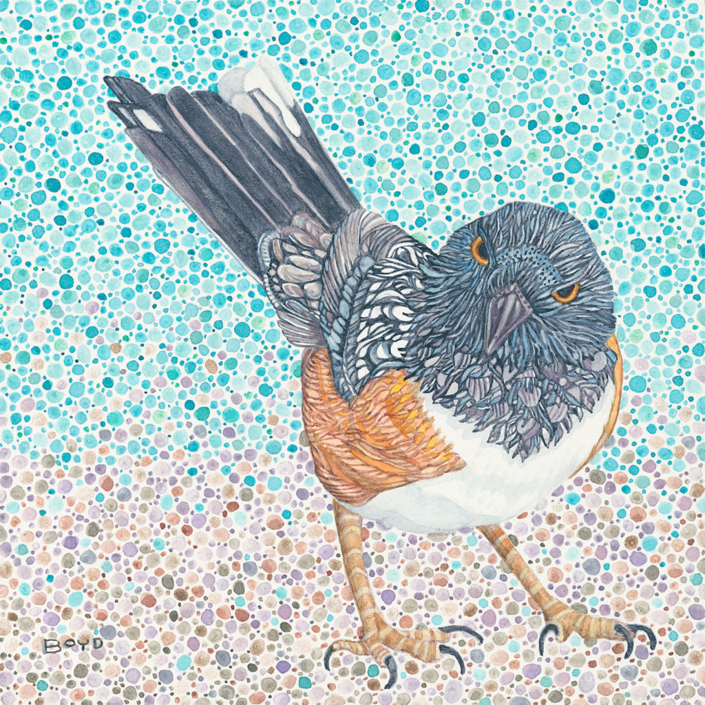 Judy Boyd: Spotted Towhee