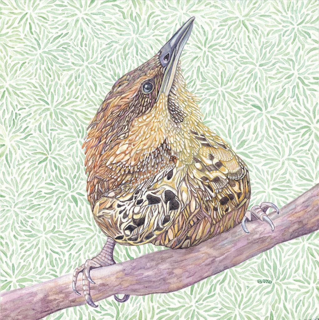 Judy Boyd: Spotted Wren