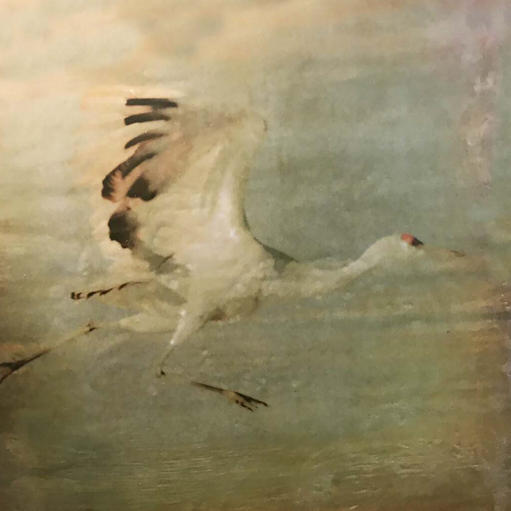 Andrea Sharon: Sandhill Crane Running
