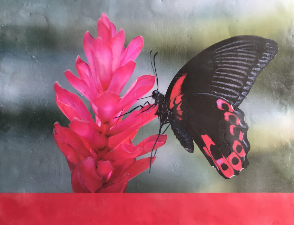 Andrea Sharon: Scarlet Mormon Butterfly