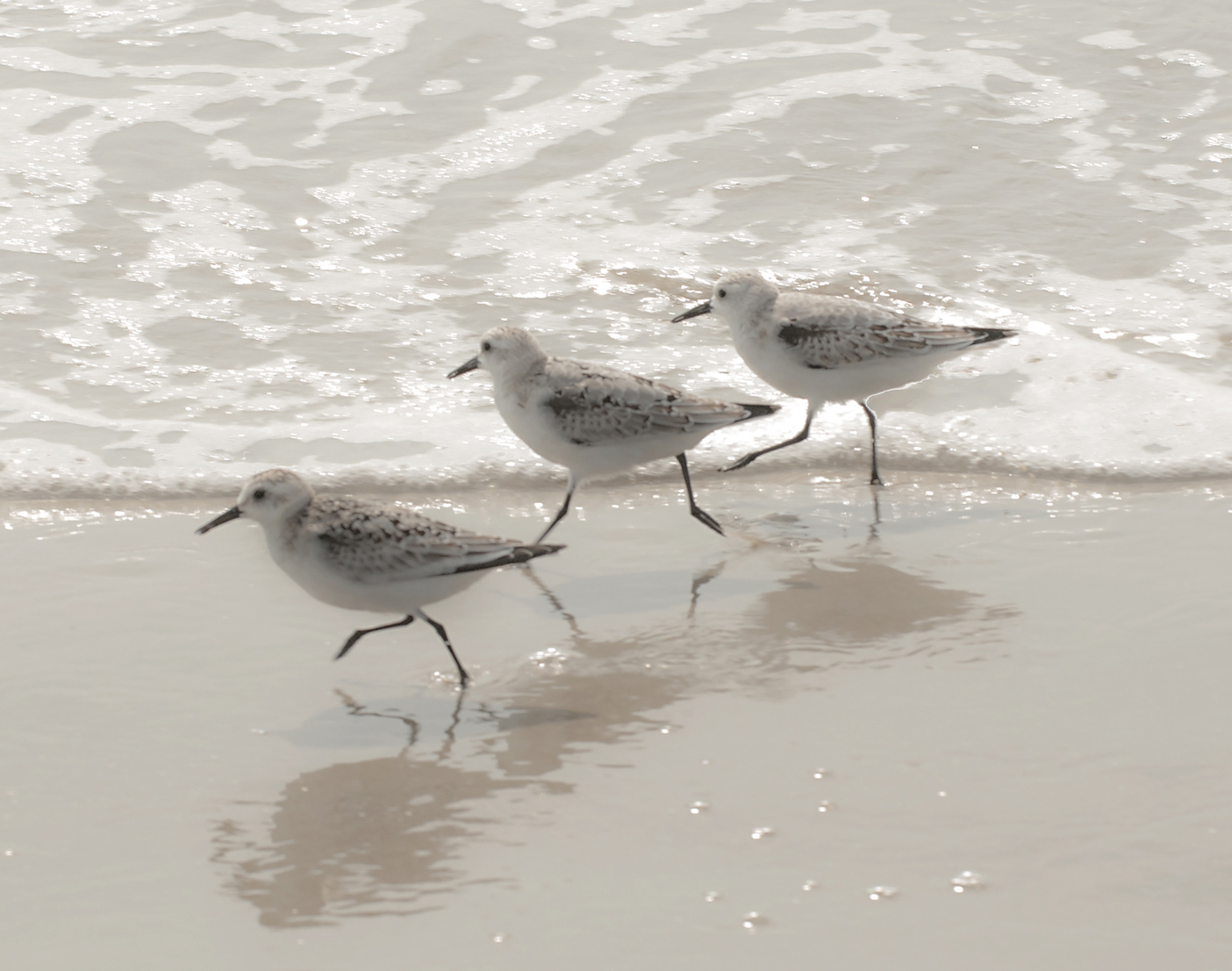 Andrea Sharon: Three Sandpipers Running