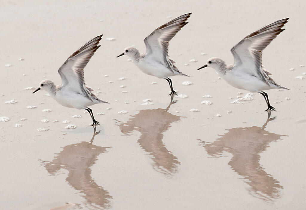 Andrea Sharon: Three Sandpipers Take Off