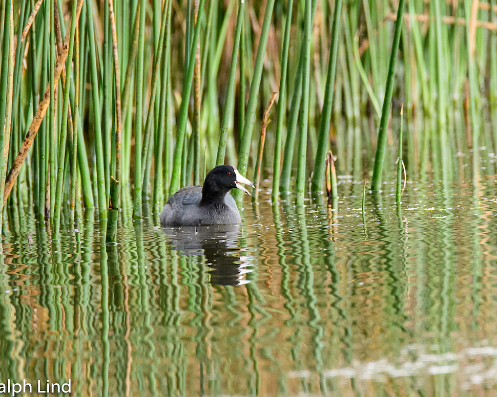 Ralph Lind: Coot in the Reeds
