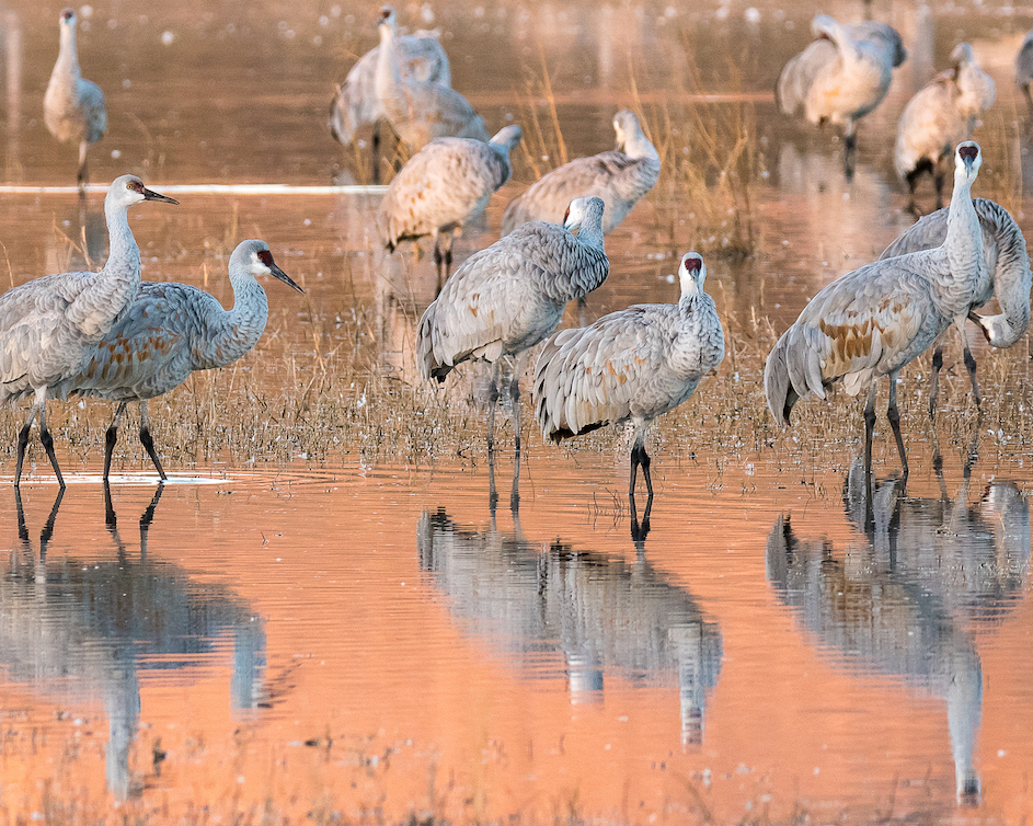 Ralph Lind: Crane Reflections in Morning Light