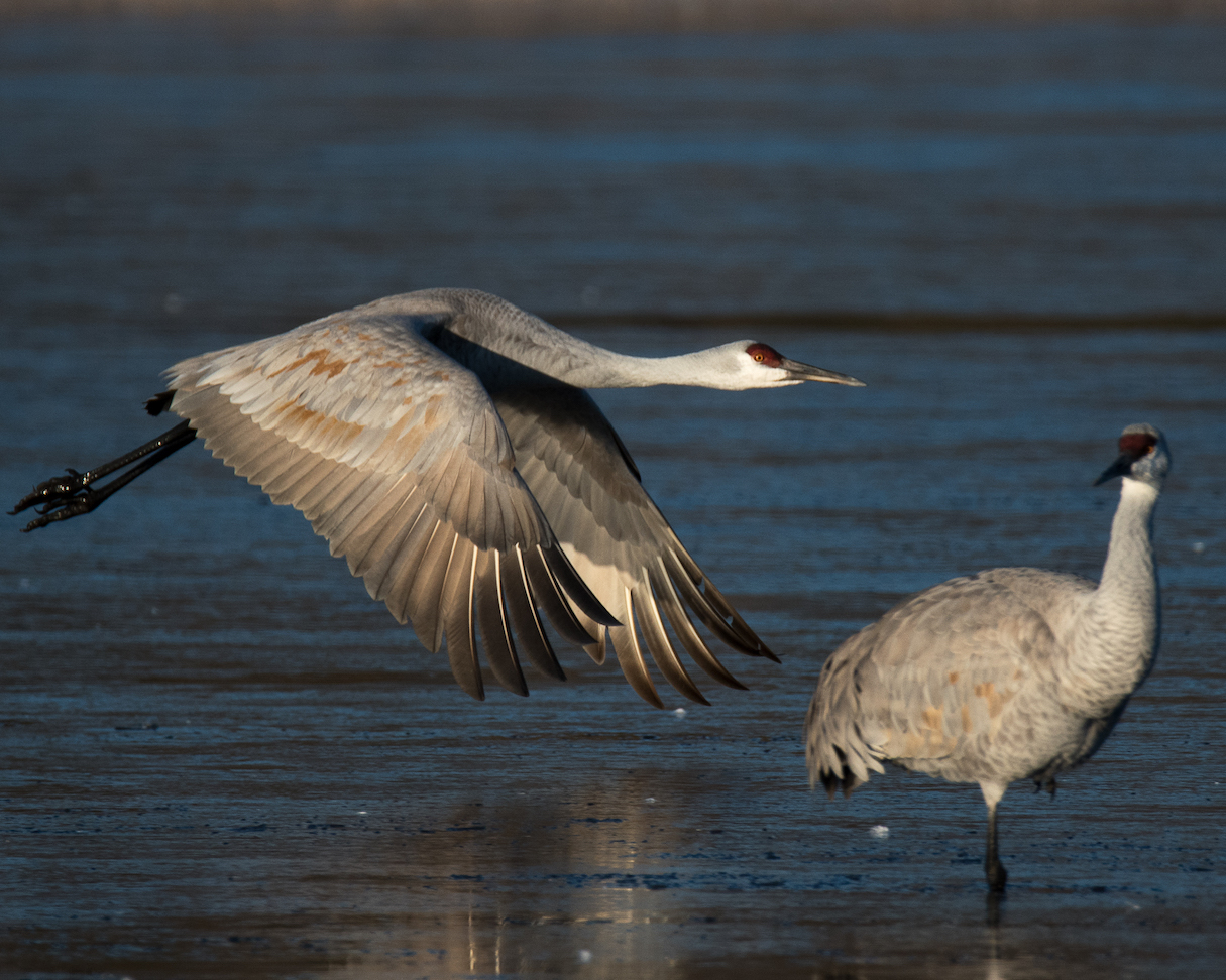 Ralph Lind: Crane Taking Flight