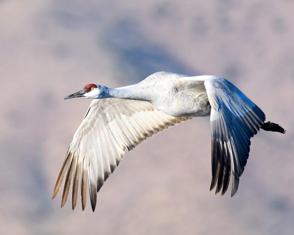 Ralph Lind: Crane in Flight
