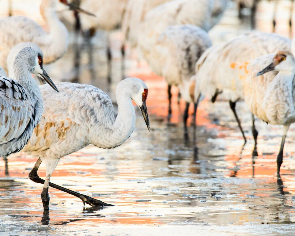 Ralph Lind: Cranes in Morning Light
