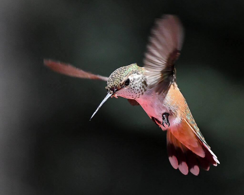 Ralph Lind: Floating Hummingbird