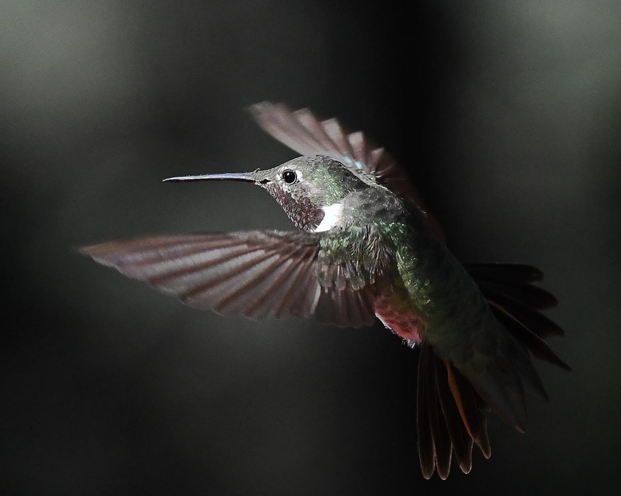Ralph Lind: Hummingbird Bliss