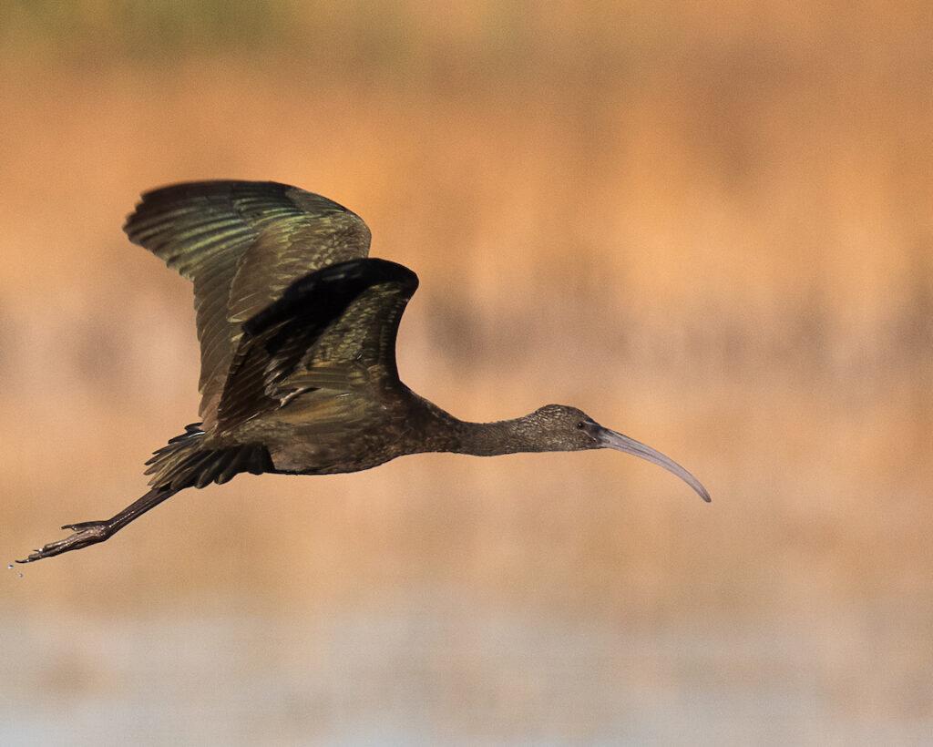 Ralph Lind: Ibis