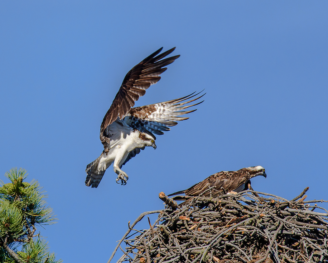 Ralph Lind: Osprey Nest