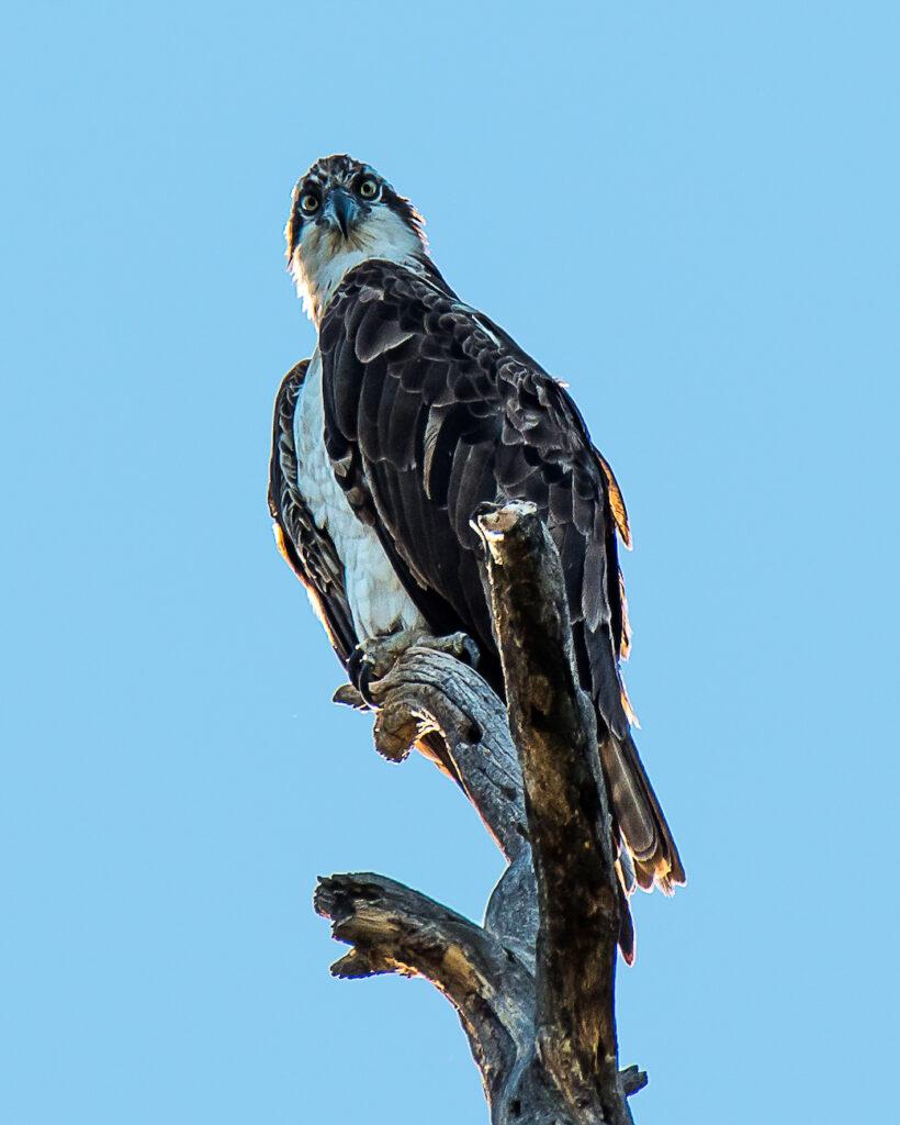 Ralph Lind: Osprey Staredown
