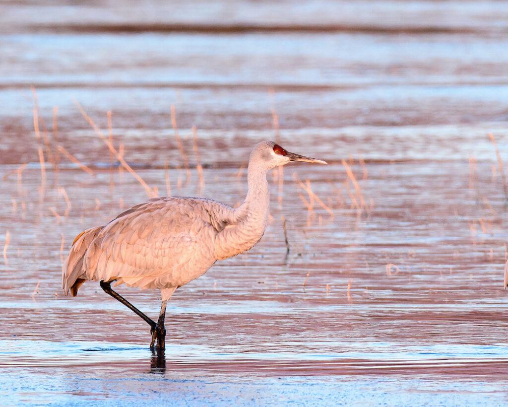 Ralph Lind: Solitary Crane