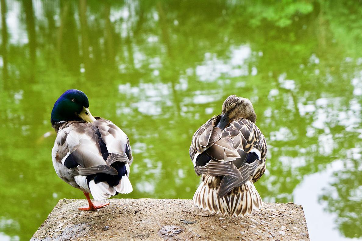 Irene Garden - Reflection Series: Quiet Ducks Meditating