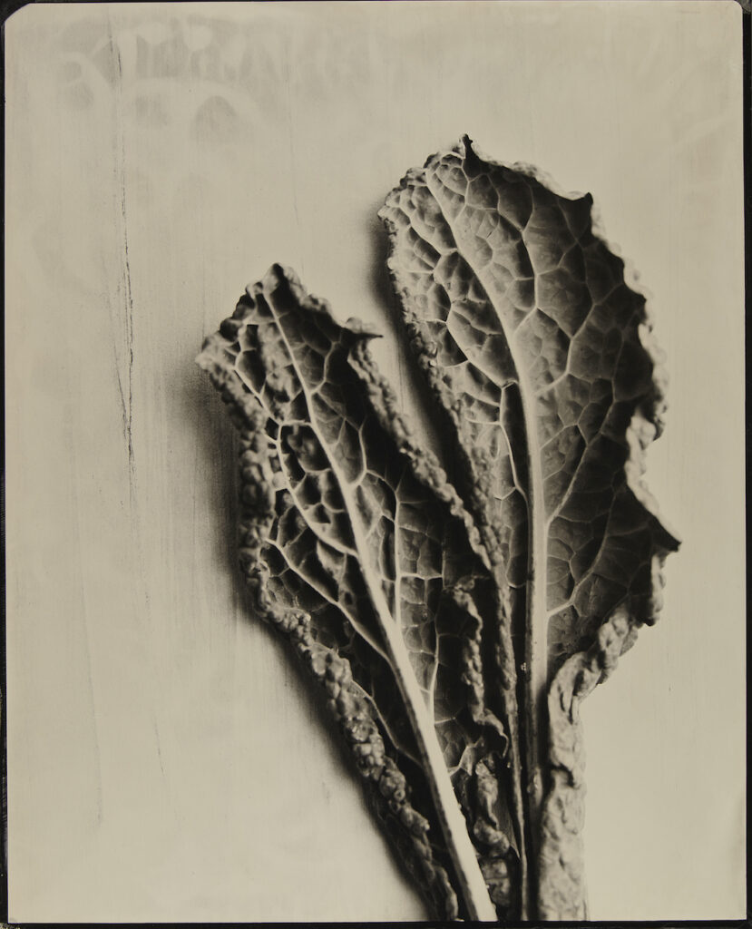 Kevin Black: Kale Leaves