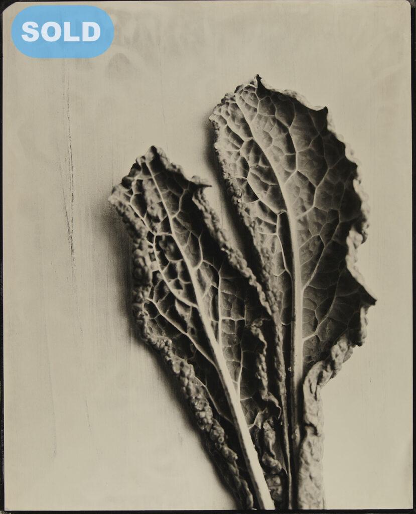 Kevin Black: Kale Leaves