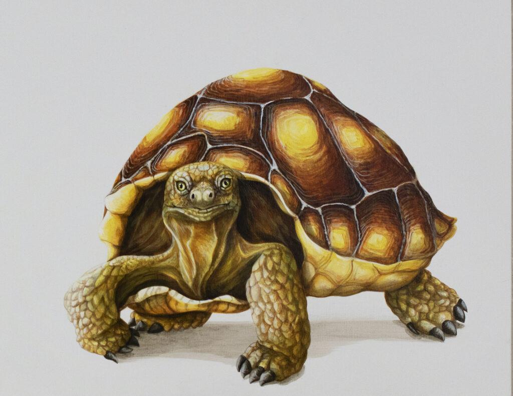 Tricia George: The Desert Tortoise