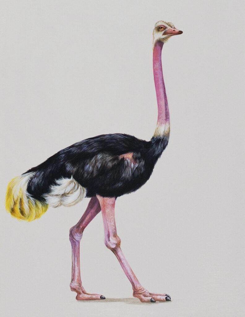 Tricia George: The Ostrich