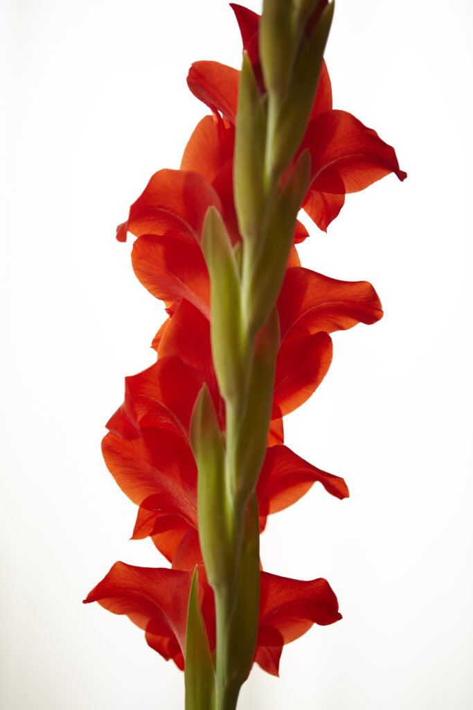 Kevin Black: Red Gladiola, Color